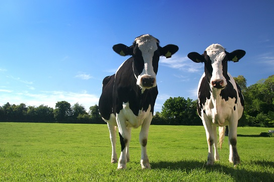 Ruminant Health and Welfare